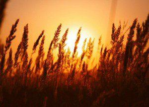 Unless grain of wheat 01